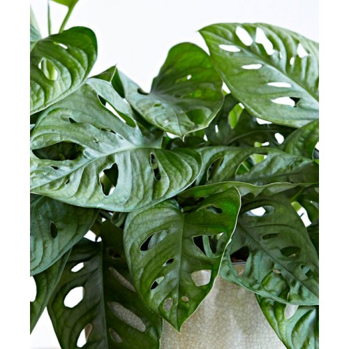Deve Tabanı Monstera Monkey