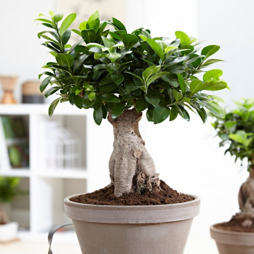 Bonsai Ficus Large