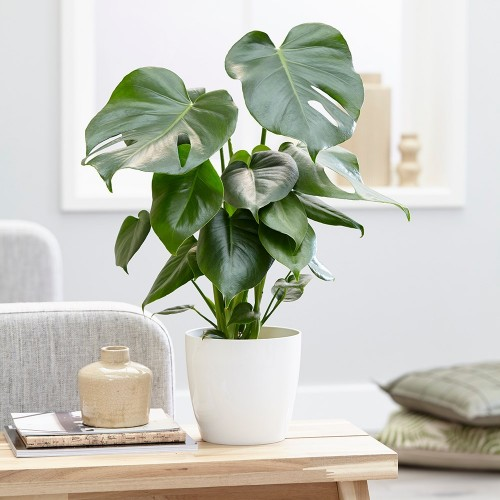 Deve Tabanı Monstera Deliciosa  XL