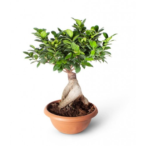 Bonsai Ficus Gingseng 2000gr